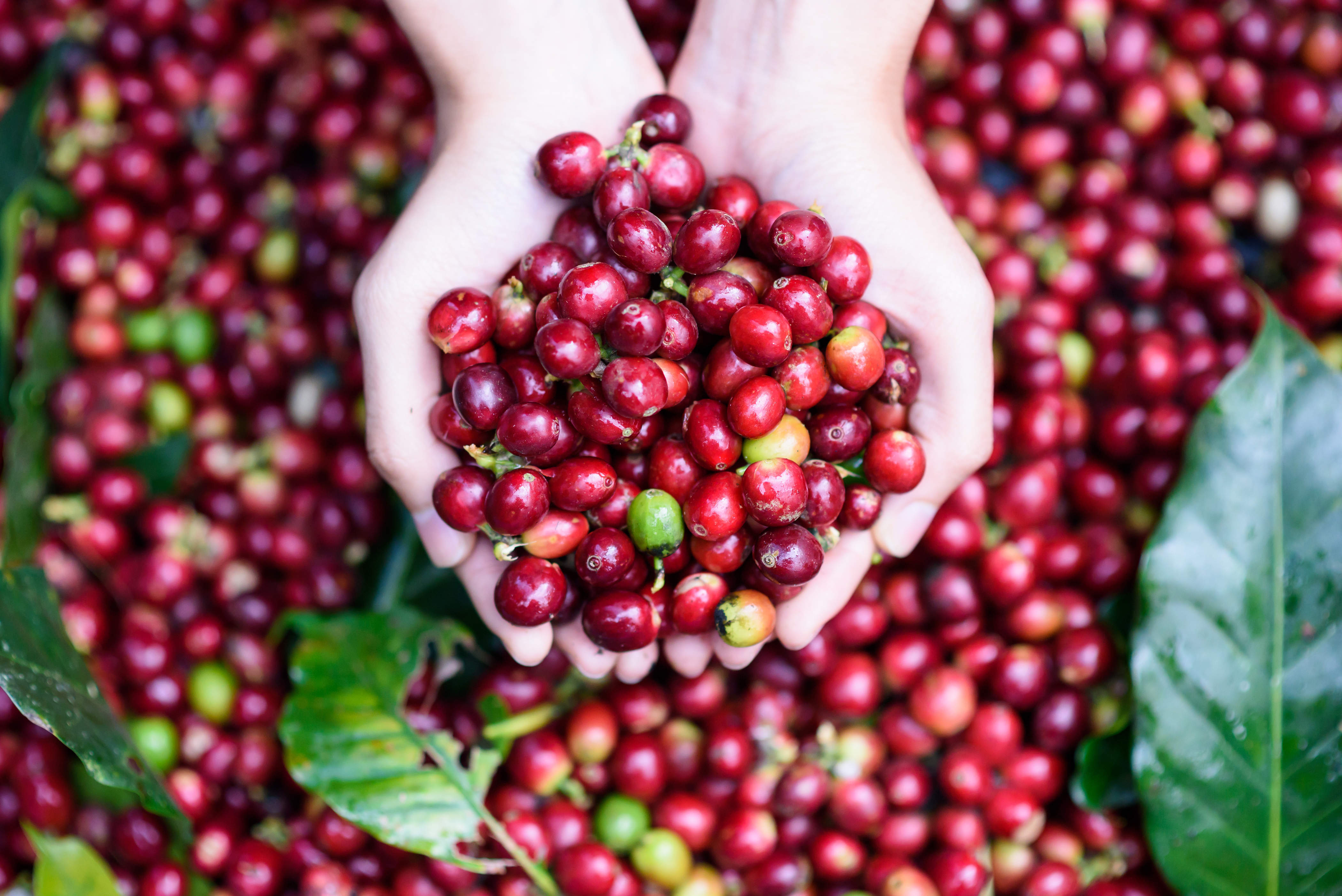 Coffee fruit: the secret super food that's about to ...