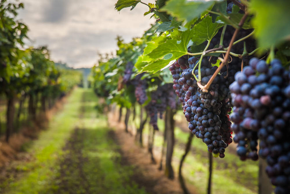 Wine Production Could Suffer As Freak Weather Plagues