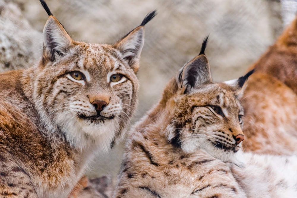 A UK lynx reintroduction could boost eco-tourism