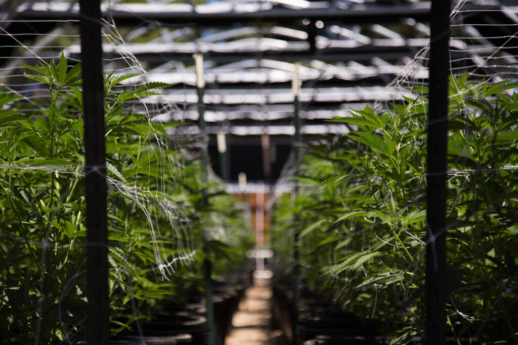 Legal cannabis market to be worth $146.4bn by 2025