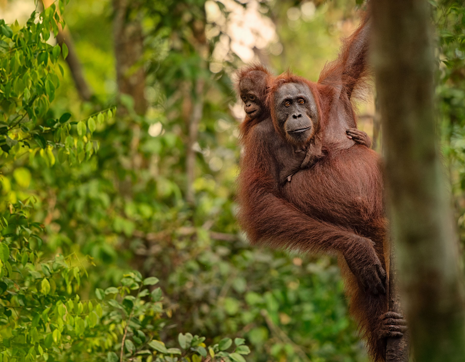 Orangutan conservation breakthrough pairs drones with space technology