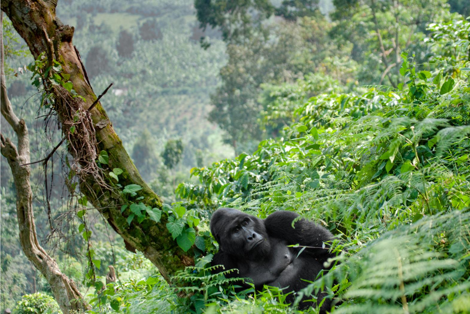 WWF turns to satellites to protect endangered mountain gorillas