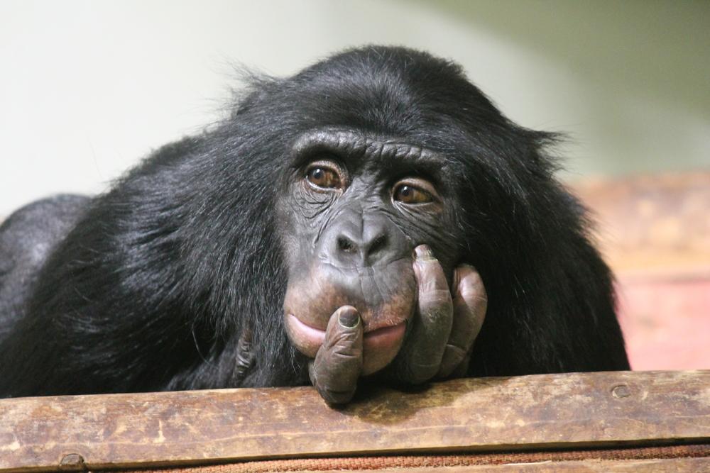 chimpanzee facial recognition