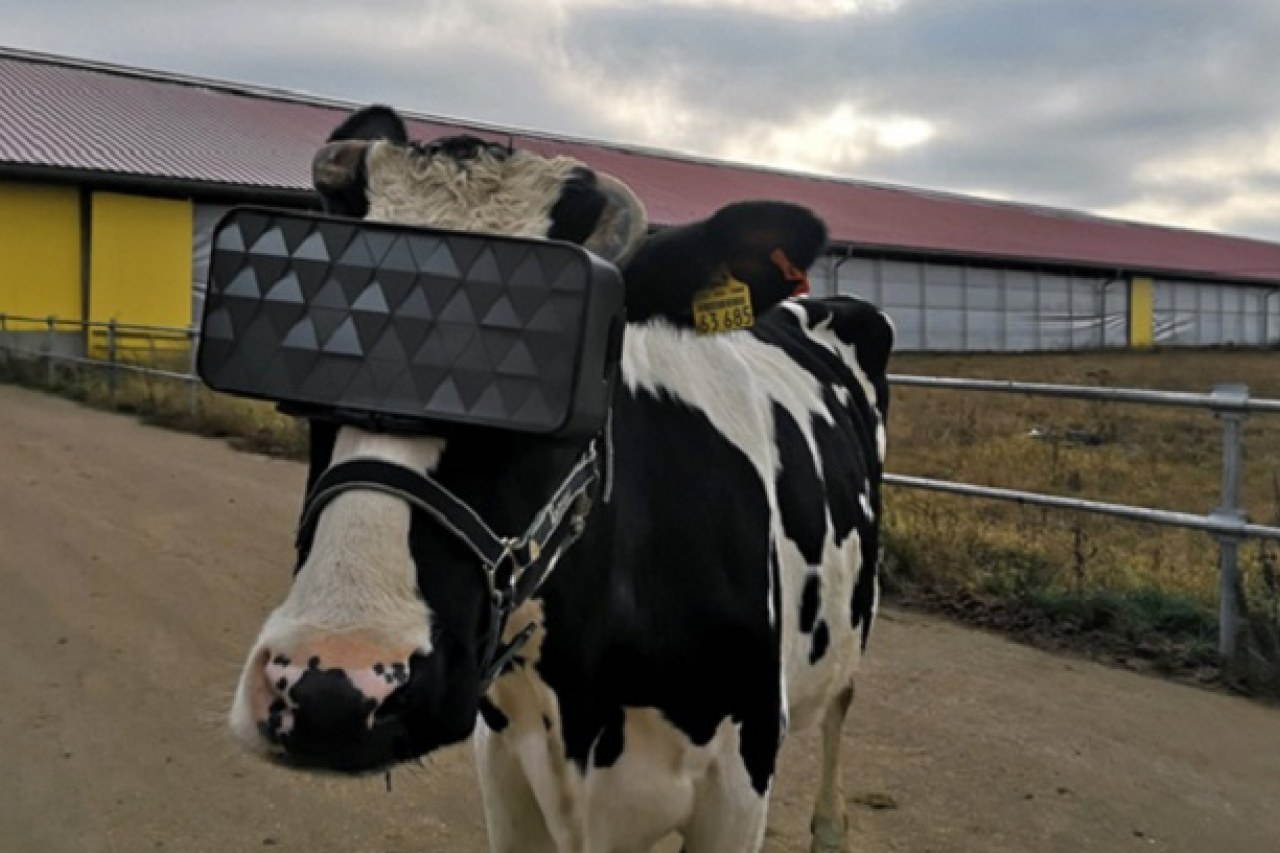 VR for cows